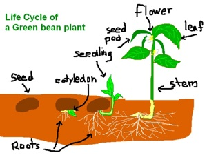 GreenBeanLifeCycle
